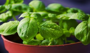 Substitutes for basil